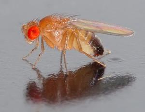 Drosophila_melanogaster__side_aka